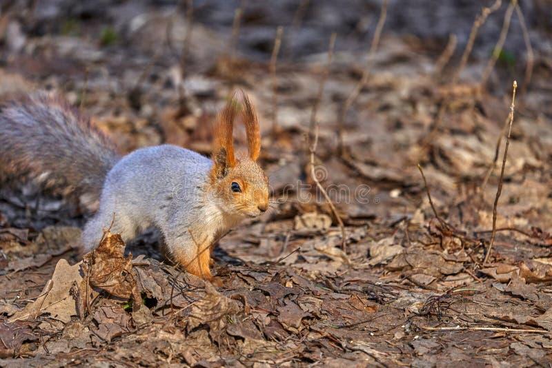 De grijs-rode eekhoorn loopt door het de lentepark en zoekt voedsel royalty-vrije stock foto's