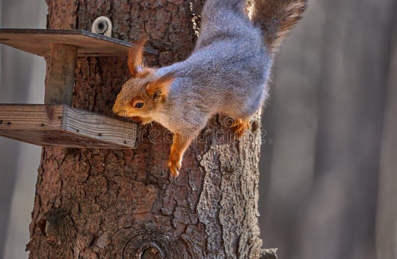 De grijs-rode eekhoorn zit in de trog en eet zaden stock afbeeldingen