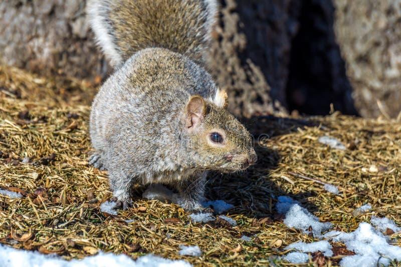 De grijze eekhoorn jacht voor voedsel stock afbeelding