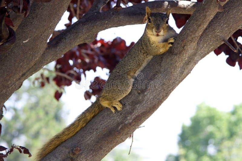 De grijze eekhoorn is op een tak royalty-vrije stock afbeeldingen
