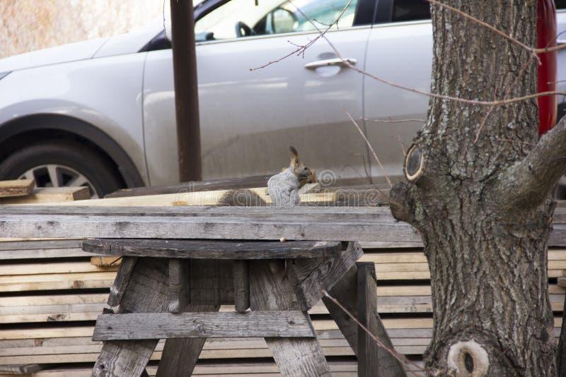 De grijze eekhoorn verzamelt en eet eikels De omwenteling in aard Dierenvoer stock afbeelding