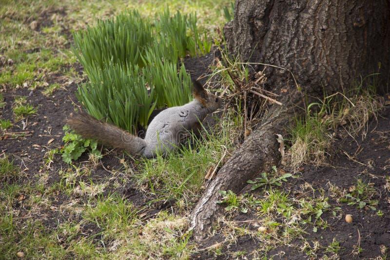 De grijze eekhoorn verzamelt en eet eikels De omwenteling in aard Dierenvoer royalty-vrije stock foto's