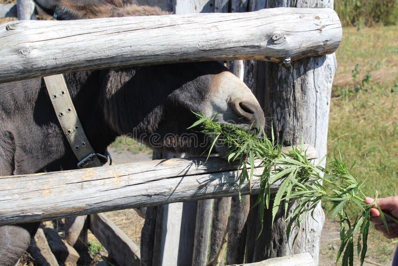De grijze ezel eet cannabis van achter de omheining royalty-vrije stock foto