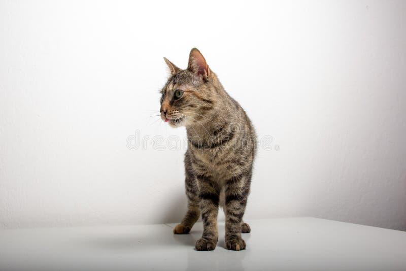 De grijze gestreepte katkat let op iets royalty-vrije stock foto