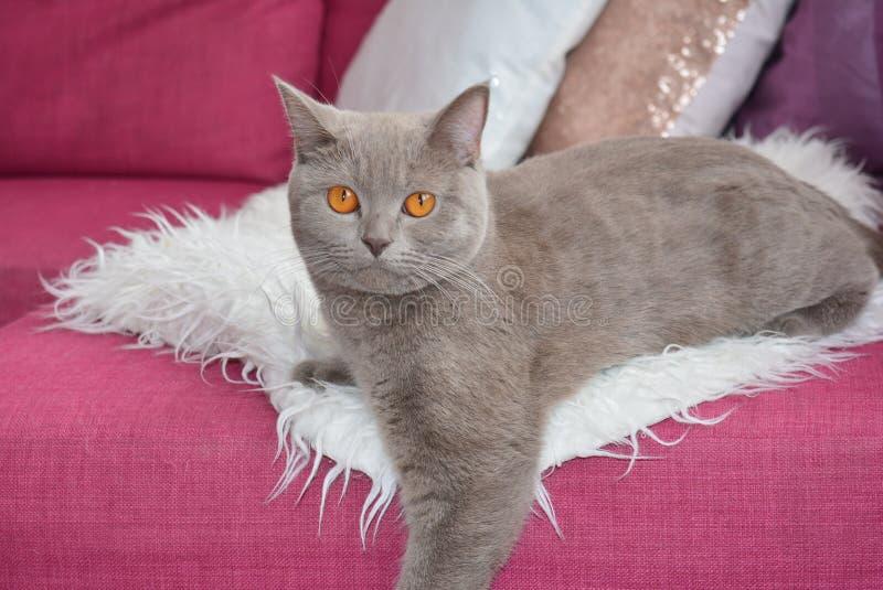 De grijze kat stock foto