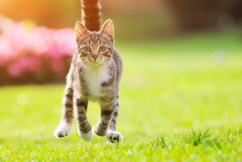 De grijze kat stelt gras op zonsondergang in werking De achtergrond van de lente Groene gebiedsachtergrond Mooie aard Grappige ka royalty-vrije stock foto