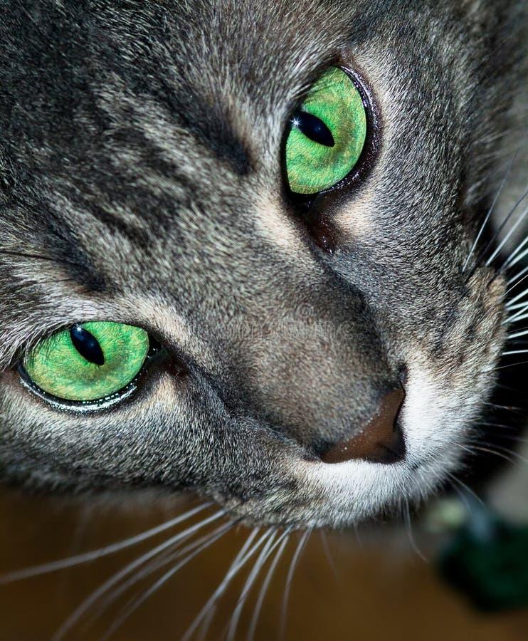 De grijze Kat van de Gestreepte kat stock afbeeldingen
