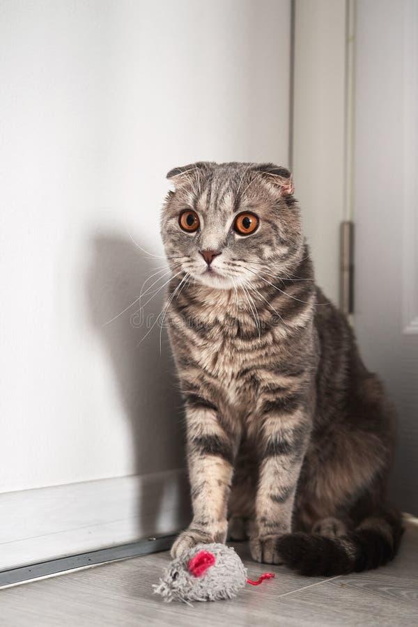 De grijze kat van gestreepte kat Schotse vouwen met amberogen die in de hoek dichtbij zijn stuk speelgoed muis zitten stock afbeeldingen