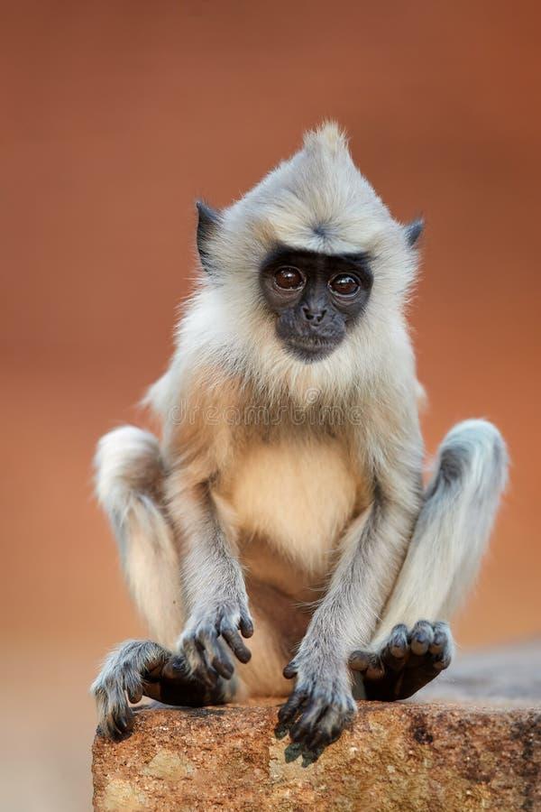 De grijze langurbaby, sluit omhoog verticale aap, stock foto's