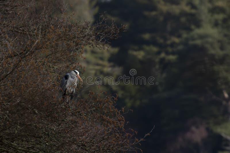 De grijze reiger, cinerea Ardea die, vogel waden streek op een boom neer verzorgend naast een meer in Schotland, morayshire royalty-vrije stock foto's