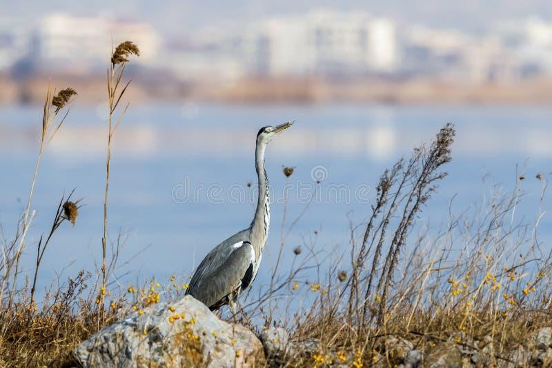 De grijze reiger cinerea Ardea is een wadende vogel in de reigerfamilie stock foto's