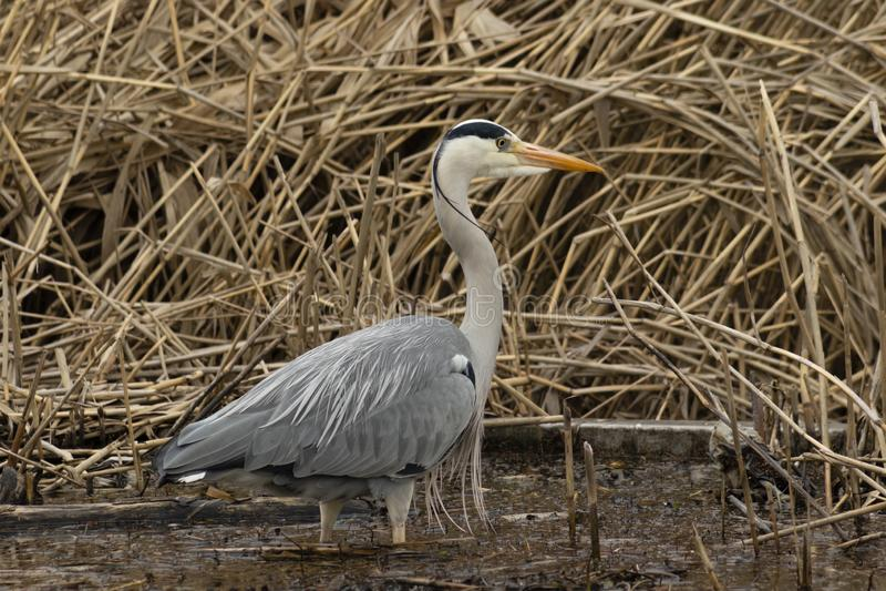De grijze reiger jacht voor vissen royalty-vrije stock foto
