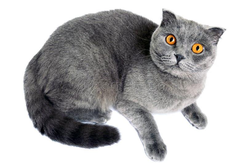 De grijze Schotse Vouw van het kattenras ligt en van beneden naar boven zorgvuldig kijkend stock afbeelding
