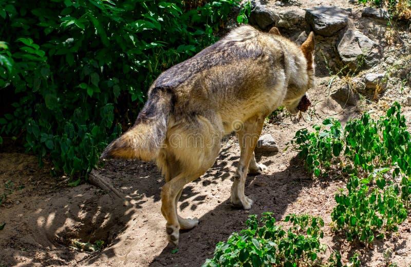 De grijze wolf loopt op het bos stock foto's