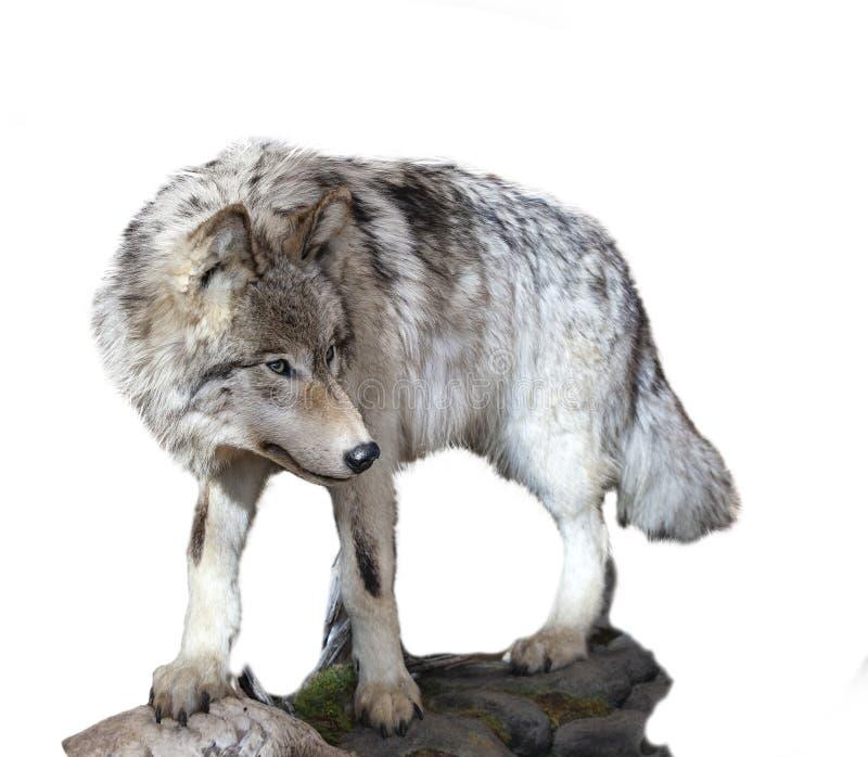 De grijze wolfszweer van wolfscanis die op een witte achtergrond wordt geïsoleerd stock foto