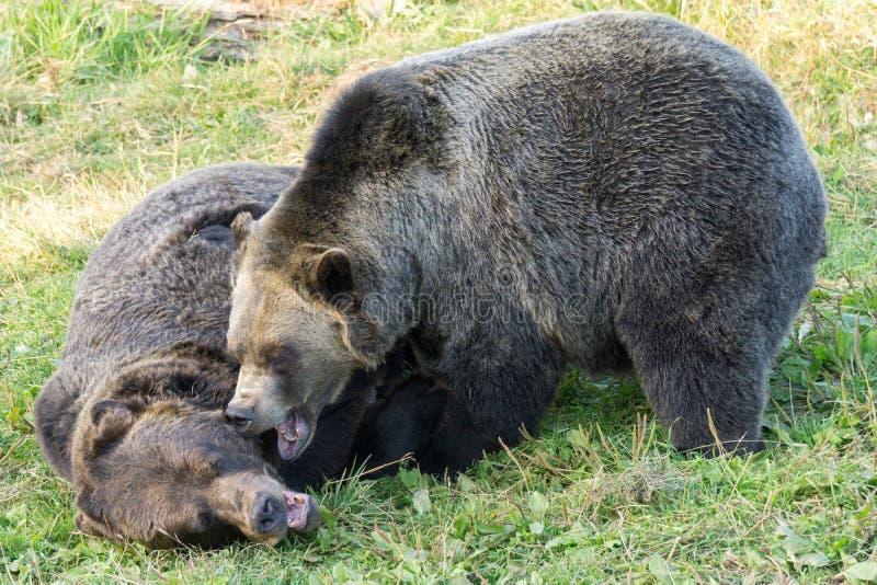 De grizzlys vechten stock afbeeldingen