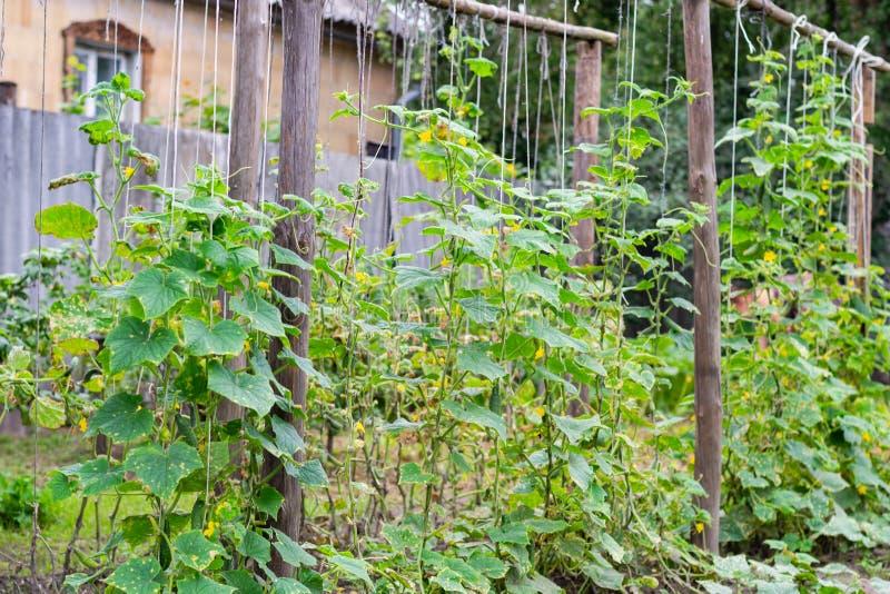 De groei en bloeiende komkommersinstallatie op struiken in een tuin stock fotografie