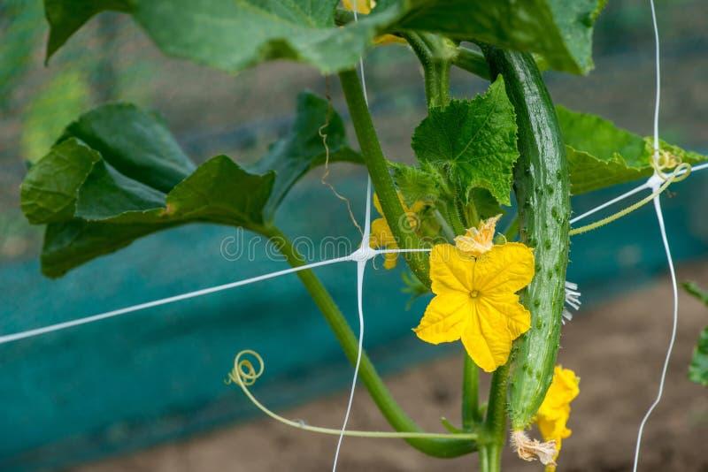 De groei en het bloeien van tuinkomkommers stock foto's