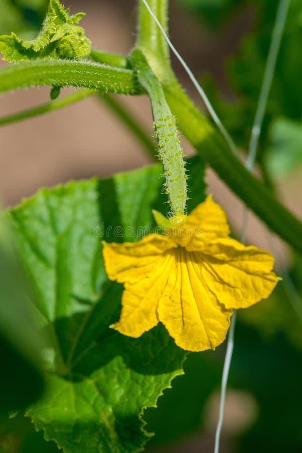De groei en het bloeien van tuinkomkommers stock fotografie