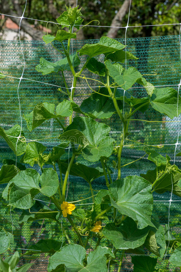 De groei en het bloeien van tuinkomkommers stock afbeelding