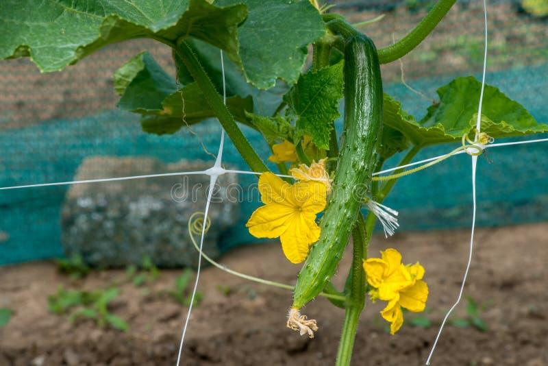 De groei en het bloeien van tuinkomkommers royalty-vrije stock fotografie