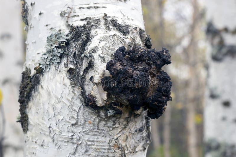 De groei op de berk - geneeskrachtige paddestoelchaga stock foto's
