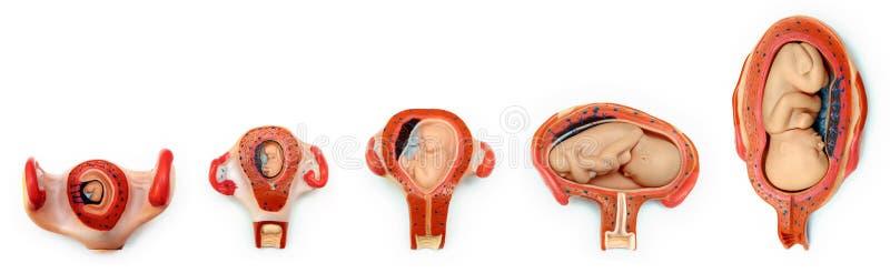 De groei van de baby stock foto