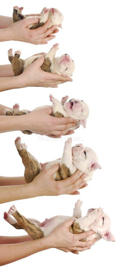 De groei van het puppy stock fotografie