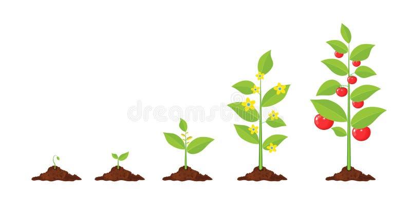 De groei van installatie, van spruit aan groente royalty-vrije illustratie