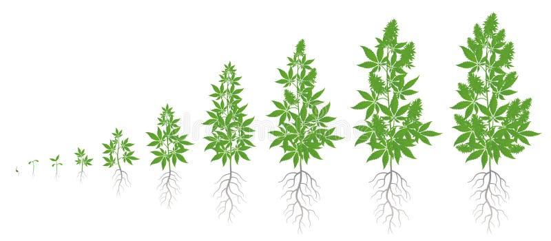 De groeistadia van hennepinstallatie Geplaatste marihuanafasen Cannabis indica rijpingsperiode De het levenscyclus Onkruid het Gr royalty-vrije illustratie