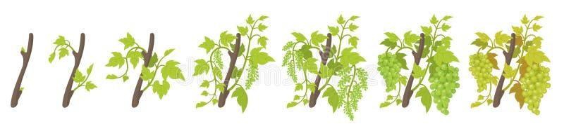 De groeistadia van de installatie van de wijnstokdruif Wijngaard die fasen planten Vector illustratie Geoogste vitis vinifera Rij vector illustratie