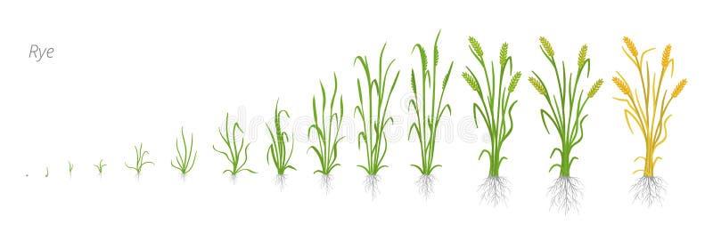 De groeistadia van Roggeinstallatie De fasen van de graangewassenverhoging Vector illustratie Secale cereale Rijpingsperiode Het  stock illustratie