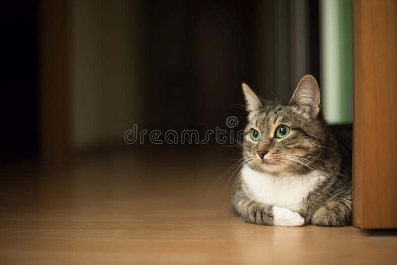 De groen-eyed zitting van de gestreepte katkat op de vlakke vloer stock foto
