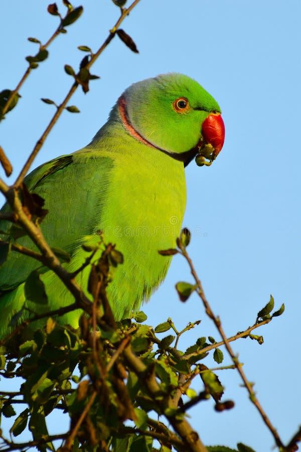 De groenachtige Ring nacked papegaai royalty-vrije stock fotografie