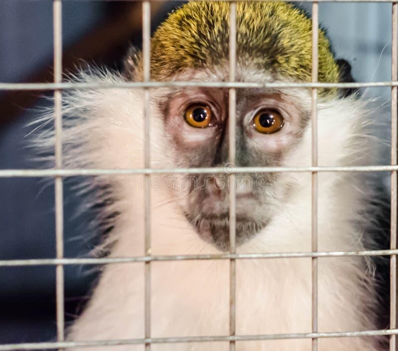 De groene aap kijkt droevig door het kooirooster royalty-vrije stock foto's