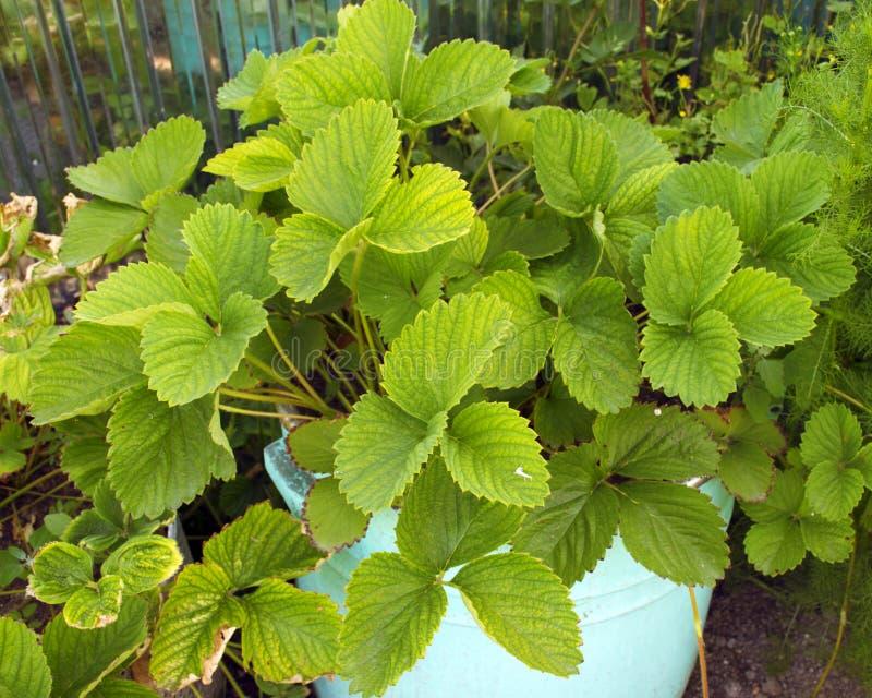 de groene aardbeistruiken groeien in een bloembed Aardbeizaailingen landschap in de tuin royalty-vrije stock fotografie