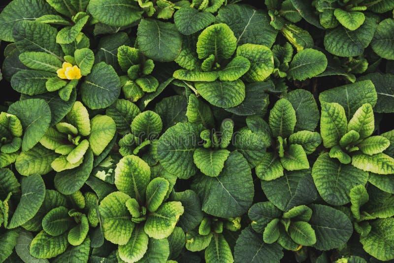 De groene achtergrond van de bladtextuur, Primulabladeren, hoogste mening, macrofoto, decoratieve het tuinieren installatie royalty-vrije stock afbeeldingen