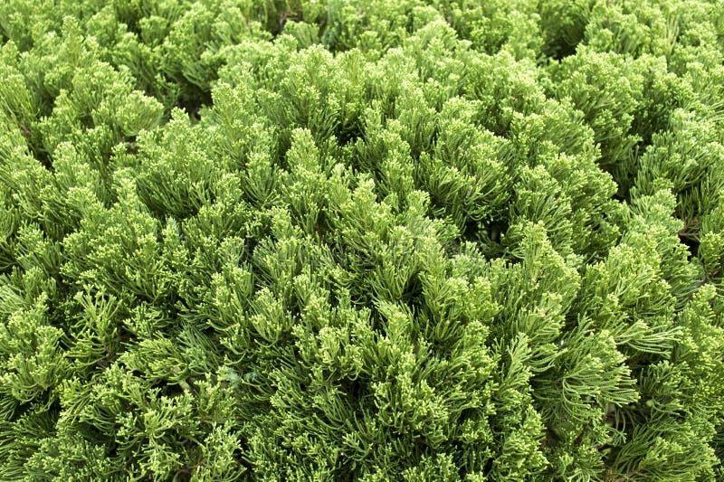 De groene achtergrond van de pijnboomboom stock afbeelding