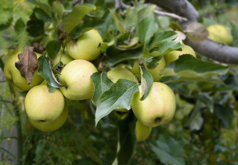 De groene appelen zijn populair, sappig en smakelijk en in Kalpa, Himachal Pradesh geoogst royalty-vrije stock foto