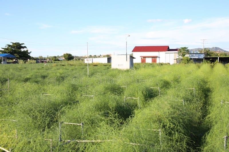 De groene bamboespruiten worden gekweekt zeer in een Hai, Ninh Phuoc, Ninh Thuan, goed ontwikkelde bomen voor economisch effic me royalty-vrije stock fotografie