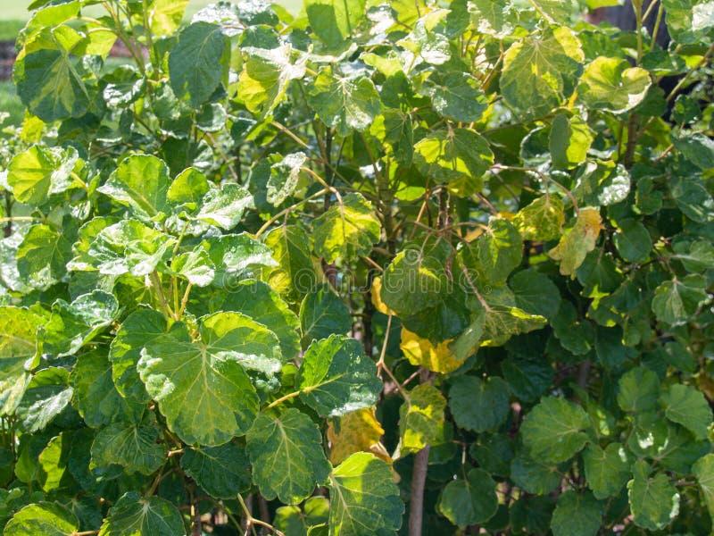 De groene bladeren dat de waterdruppeltjes binnen geplakt zijn royalty-vrije stock afbeeldingen