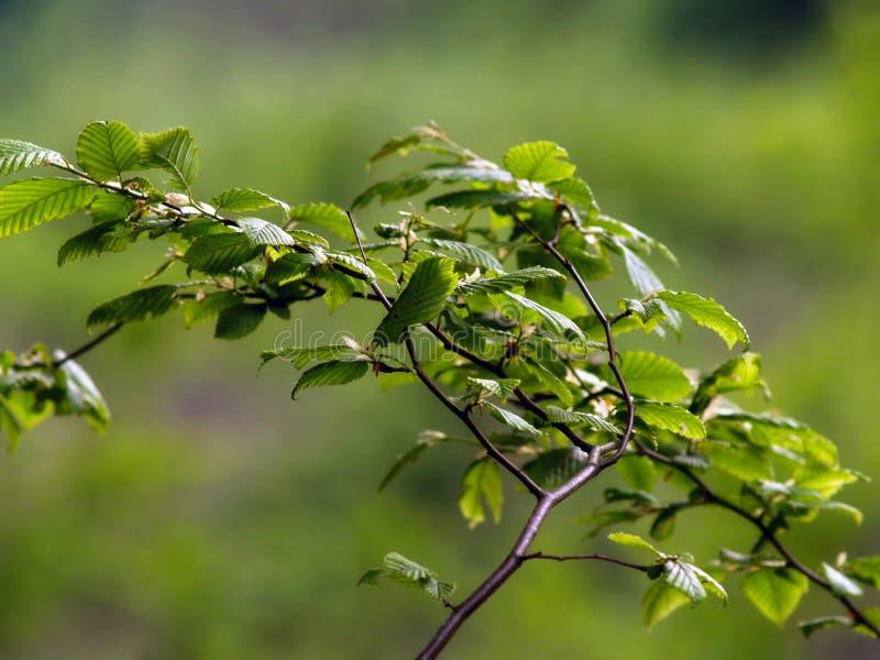 De groene bladeren en de takken sluiten omhoog royalty-vrije stock foto