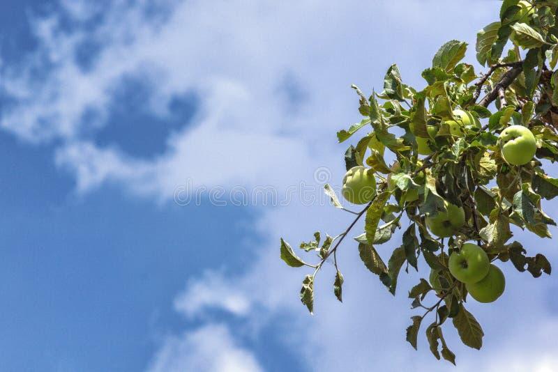 De groene bladeren en takken van de appelboom tegen een blauwe of blauwe hemel royalty-vrije stock fotografie