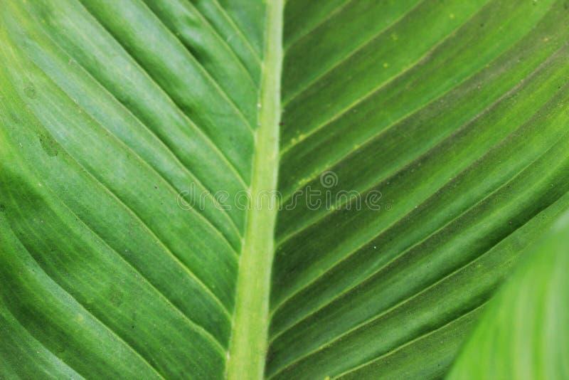 De groene bladeren hebben mooie strepen als achtergrond royalty-vrije stock foto