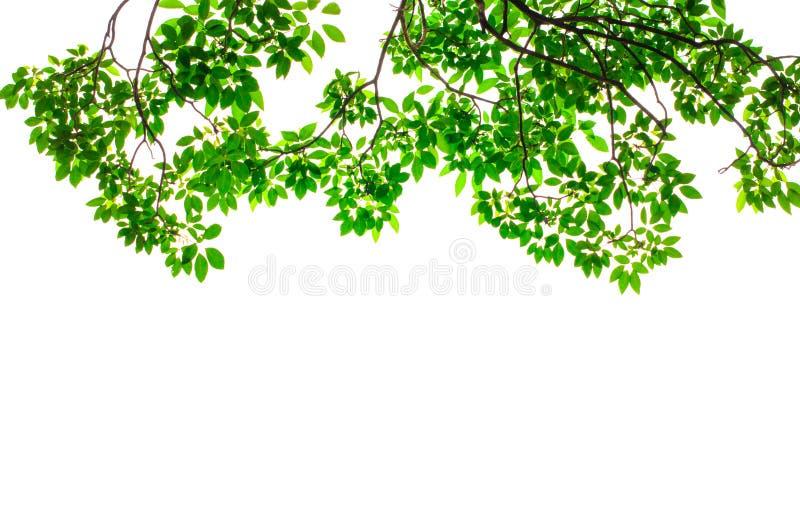 De groene bladeren isoleren royalty-vrije stock fotografie