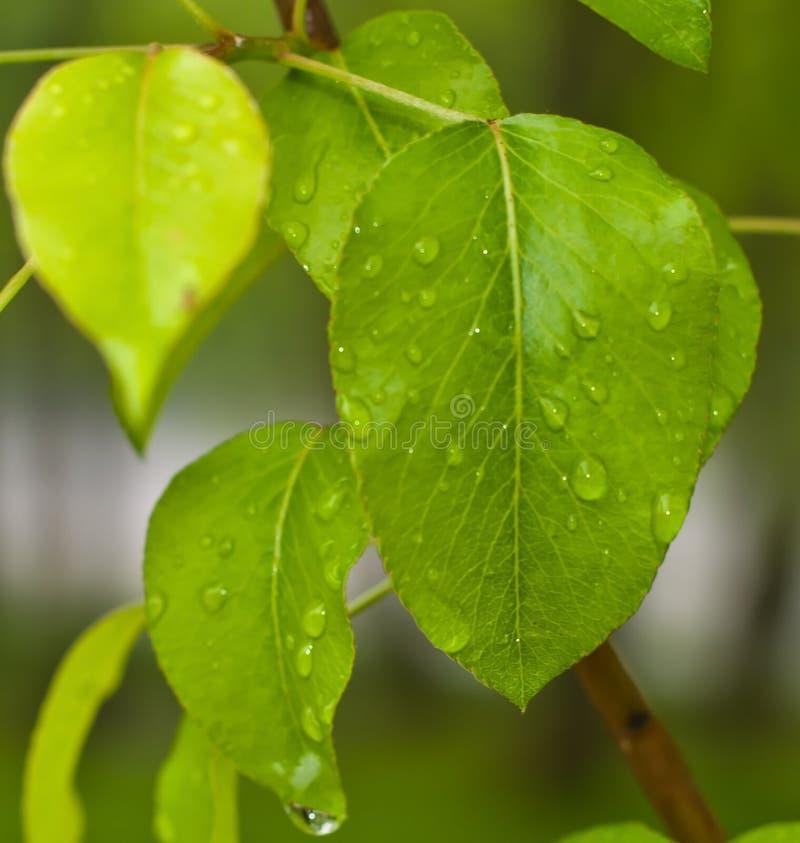 De groene bladeren van de asboom met dauw op hen stock foto's