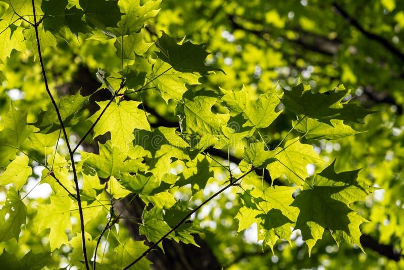 De groene Bladeren van de Esdoorn royalty-vrije stock afbeelding