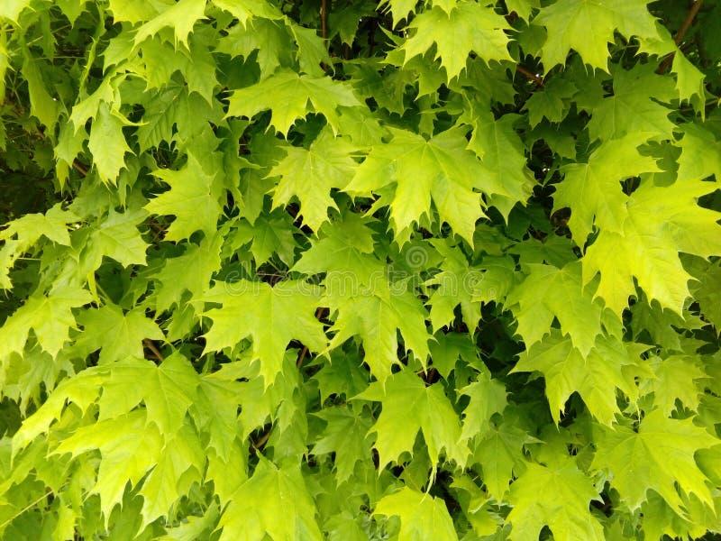 De groene bladeren van de sycomooresdoorn royalty-vrije stock fotografie