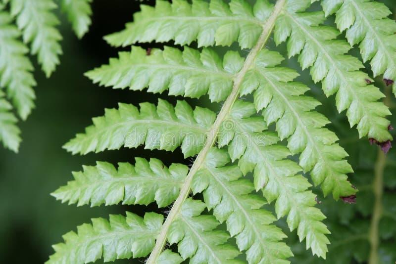 De groene Bladeren van de Varen stock fotografie