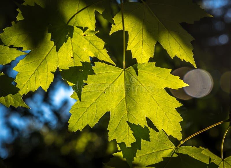 De groene Bladeren van de Esdoorn stock afbeelding
